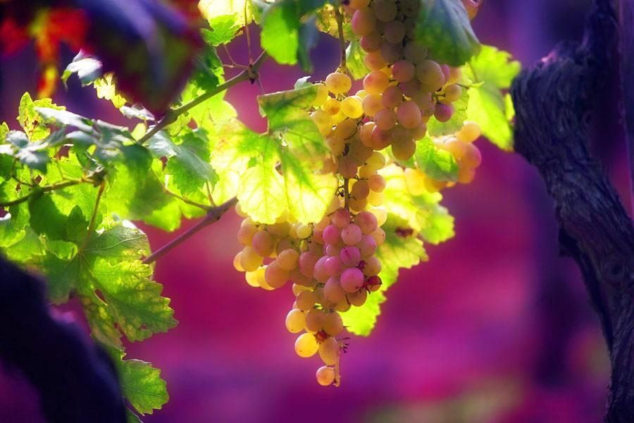 Istrian Grapes