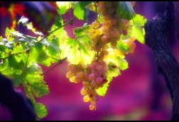 Istrian Grapes
